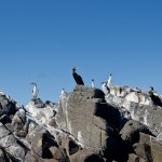 Cormorants on Rock