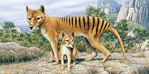 New evidence links Tasmanian Tiger extinction to Drop Bear